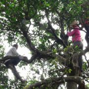 1000-year-old-puer-tea-tree-in-bulang-mt