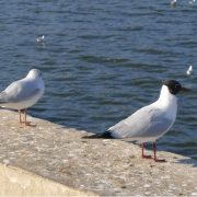 black-headed-gull-2