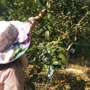 farmers-are-picking-puer-tea-leaves