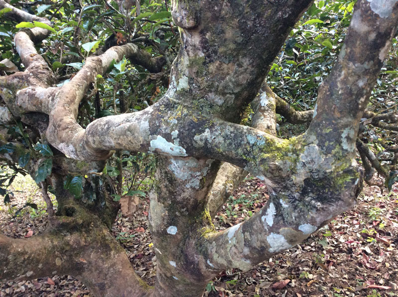 hundreds-year-old-puer-tea-tree