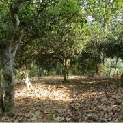 puer-tea-tree-forest