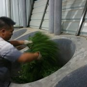sauteing-the-puer-tea-leaves